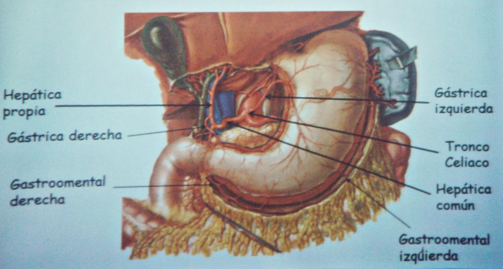 Estómago - Sistema digestivo