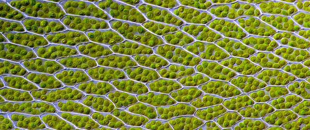 Cloroplastos y plantas