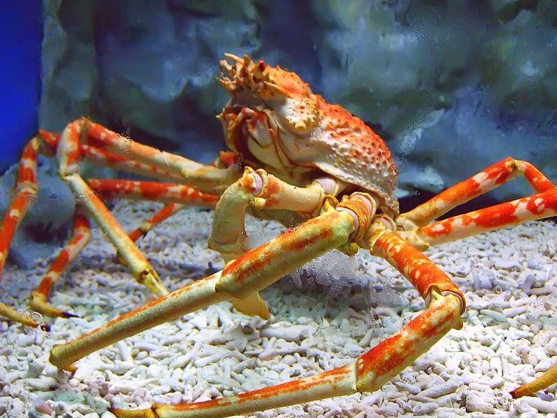 Spider crab - photo#29