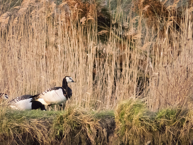 Barnacle geese in the reeds at the Wexford Wildfowl Reserve