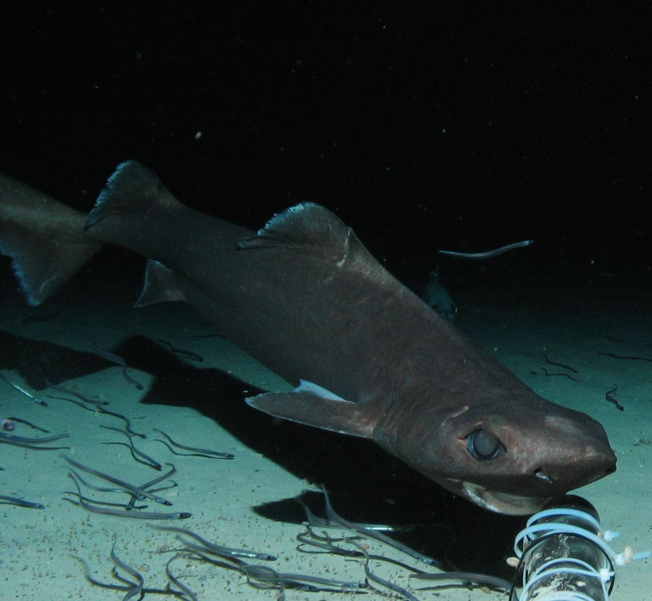 Tiburones en Galicia: Claves de los Squaliformes