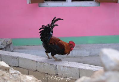 ネパールの山間のニワトリ