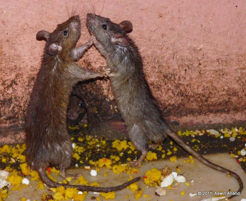 Saiba como eliminar ratos de forma prática e sem gastar quase nada.