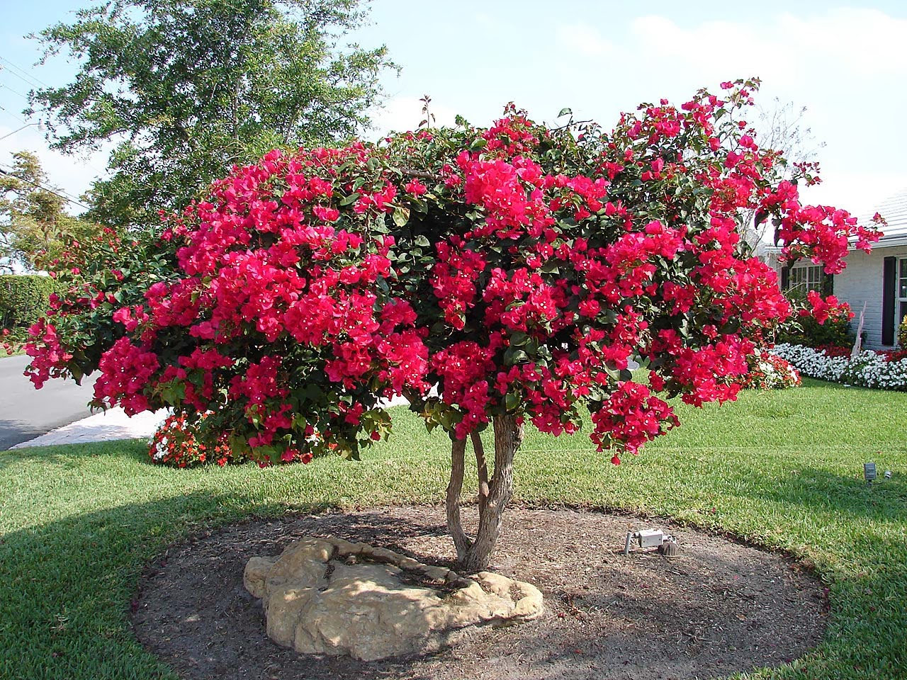 The Growth Rate Of Bougainvilleas Varies From Slow To Rapid Depending On Variety They Tend Flower All Year Round In Equatorial Regions