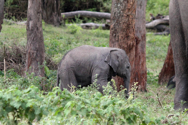 Baby Elephant at Bandipur