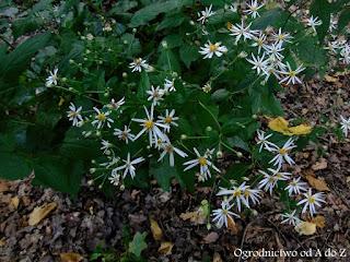 Aster rozkrzewiony- Aster divaricatus (Eurybia divaricata)