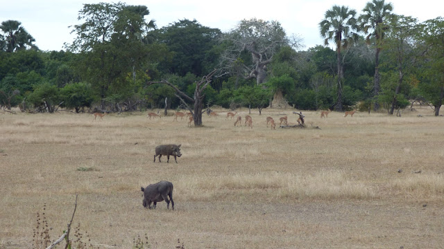 Warthogs and impala - Liwonde National Park