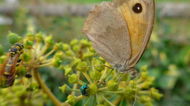 Macro fotografia di insetti su fiori di edera