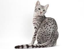 il gatto egytian mau caratteristiche