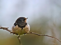 Juvenile Barn Swallow (Hirundo rustica), Schiermonnikoog, Netherlands per Frank Vassen a Flickr