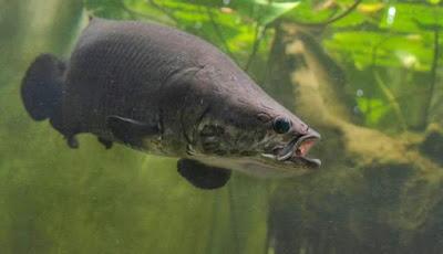 Spesies Baru Ikan Arapaima yang Menuju Kepunahan