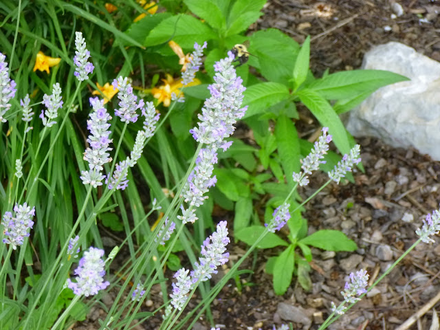Lavandula angustifolia'Hidcote'用土黄蜂(Bombus SPP)