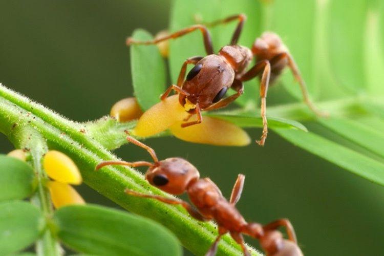 Akasya Ağacı karıncalardaki koruma içgüdüsünü tetikleyecek bir hormon salgılıyor.