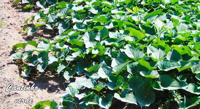 Cultivo da batata doce