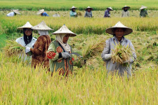 Tahun Ini Aceh akan Produksi 2,7 Ton Padi, 363 Ribu Ton Jagung