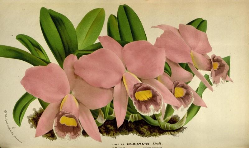 Cattleya praestans (Rchb.f.) Van den Berg  Flore des serres et des jardins de l'Europe