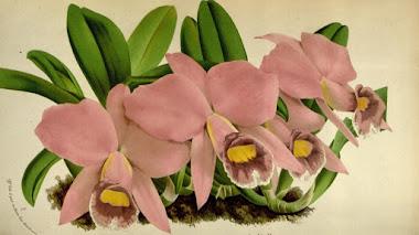 Exploradores botánicos: 'Flore des serres et des jardins de l'Europe' de Van Houtte