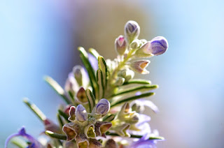 23 Health Benefits of Rosemary and Risk