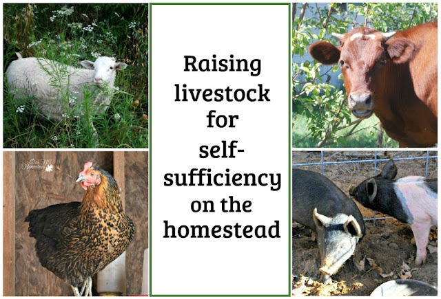 Raising livestock on the homestead for increased self-reliance.