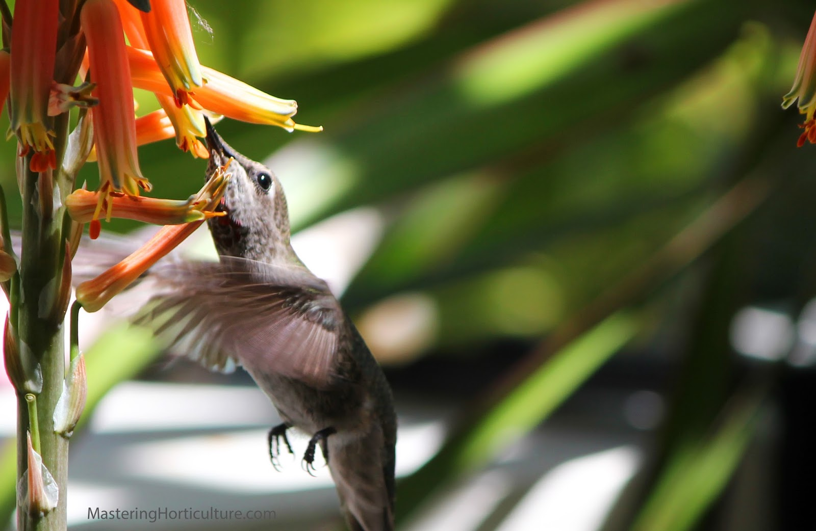 mastering horticulture  hummingbirds and succulent flowers