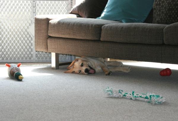 Labrador puppy Cooper under sofa