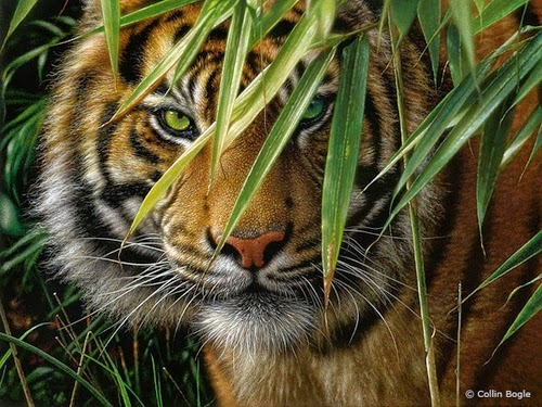 07-Tiger-Collin-Bogle-Animal-Wildlife-in-Art-www-designstack-co