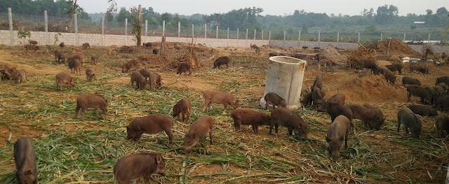 Các giống cỏ nuôi lợn rừng