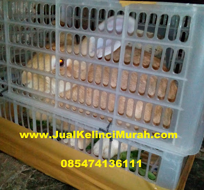 Penyakit Kelinci  Pneumonia (radang paru)