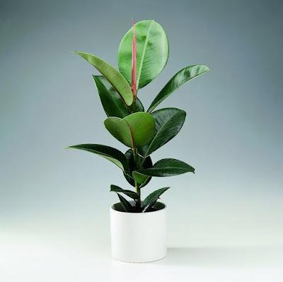 http://bi.gazeta.pl/im/2b/11/c2/z12718379Q,Figowiec-sprezysty--Ficus-elastica-.jpg