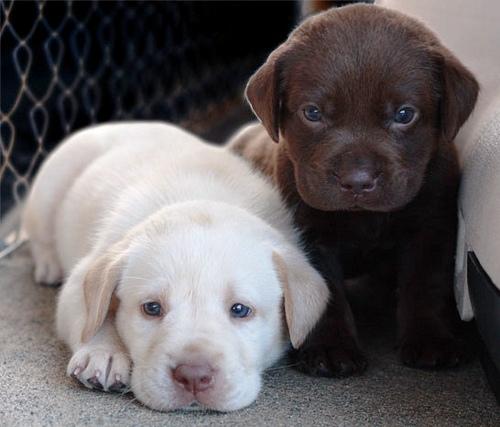 Three cute images time (hora de tres imágenes tiernas) dogs perros labrador