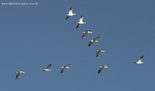 http://3.bp.blogspot.com/-AlJAJ4cW1oY/UDfVcQpO3FI/AAAAAAAABAI/uFmrBj3PssE/s1600/angsa+terbang+huruf+V+(quotespetualang.blogspot.com).jpg