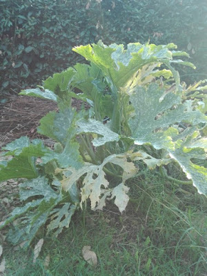 Orto di settembre: zucchina gigante