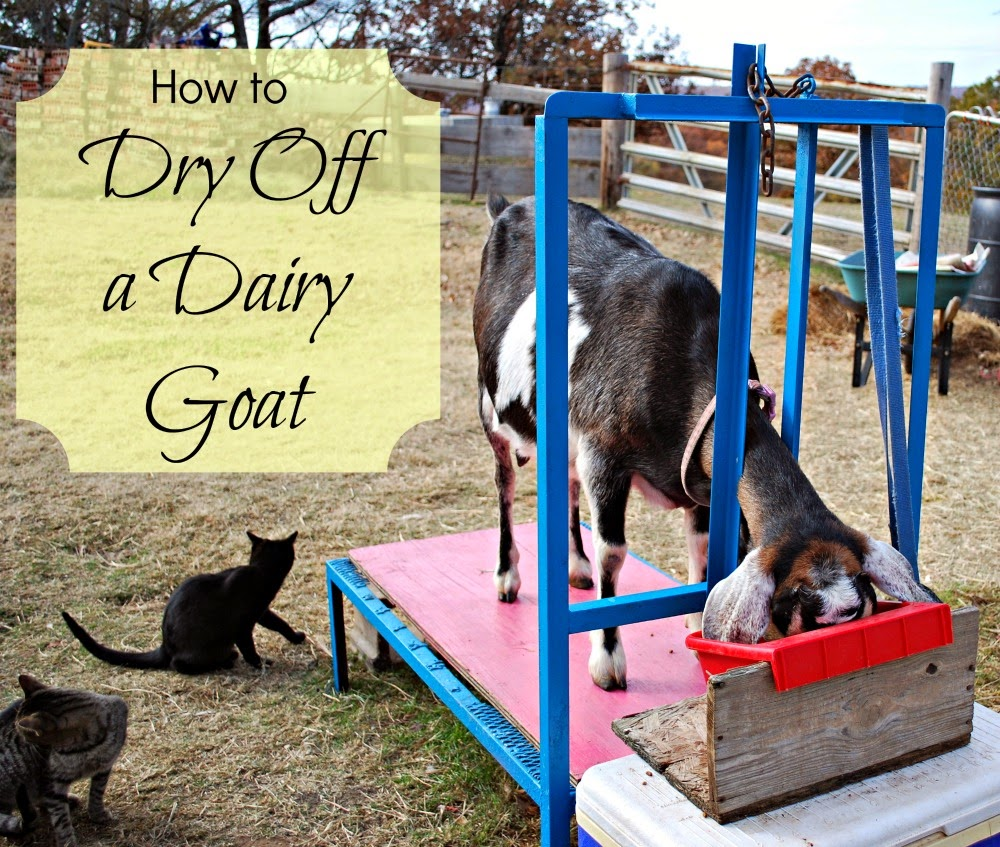 How to dry off your dairy goat