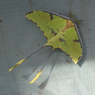 Papillon lune indien - Actias selene