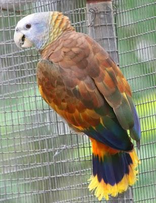Amazona de San Vicente: Amazona guildingii