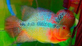 Jenis Ikan Louhan Rainbow King