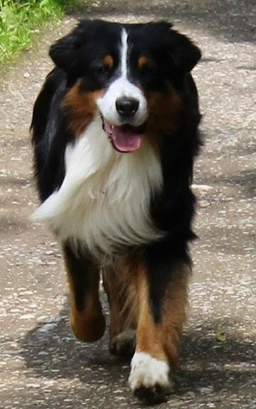 Australian Shepherd, black tri. I hope my Jase grows up just like this :)