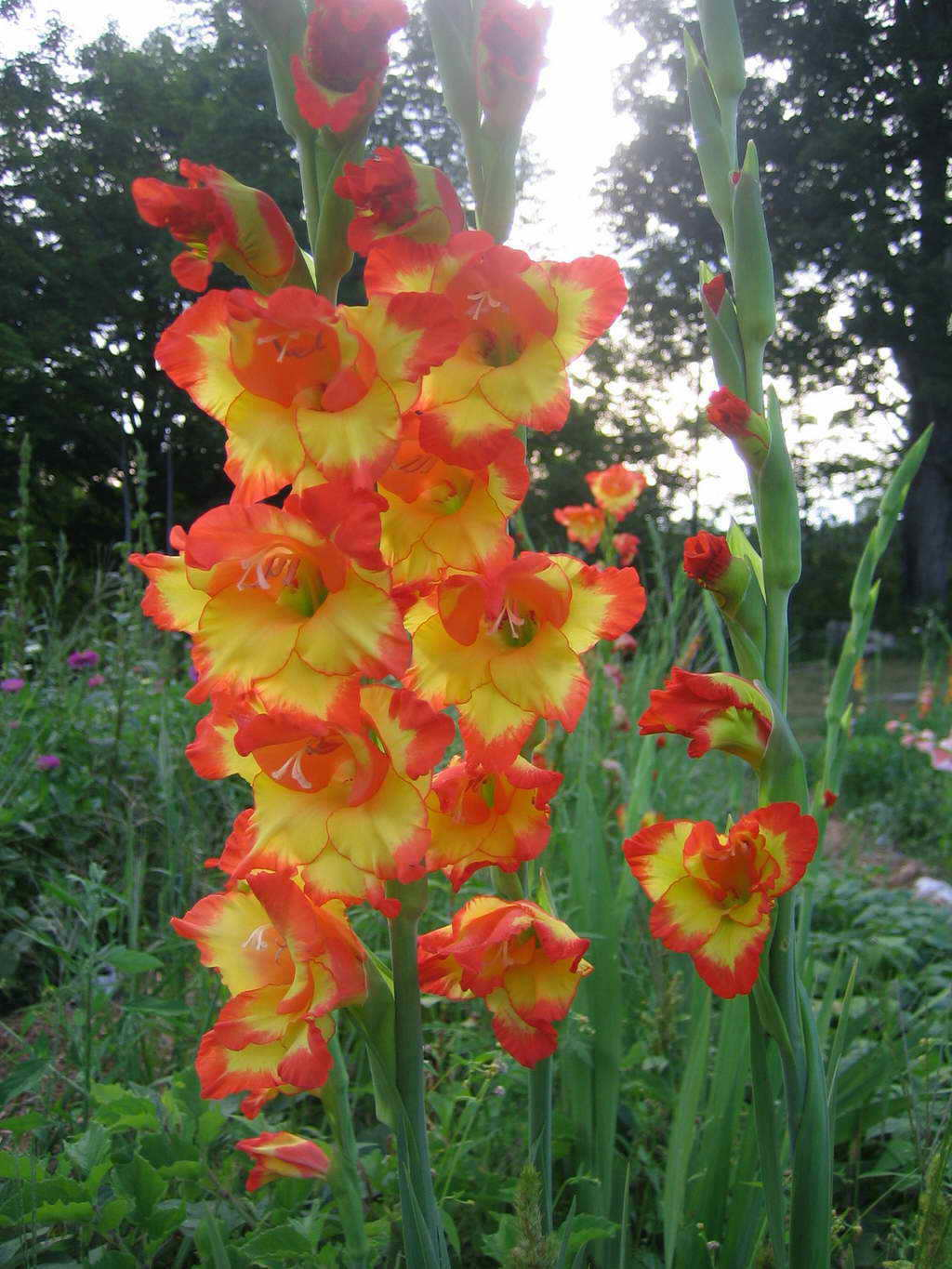 Flower Picture Gladiolus Flower 1