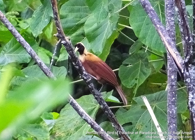 Birding in Waigeo island