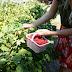 Raspberry Picking in Utah