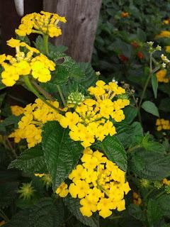 bunga kuning lamtana camara