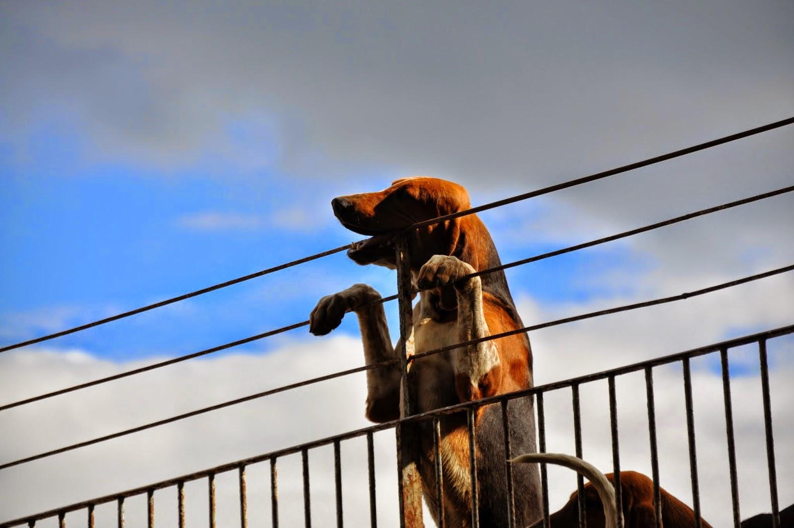 Cani di Cheverny