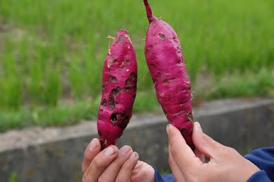 生坂村・家庭菜園 さつまいも掘り 鮮やかな色