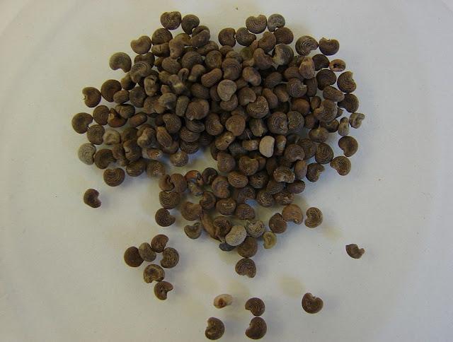 Hạt Vông Vang - Hibiscus abelmoschus - Nguyên liệu làm thuốc Đắp vết thương Rắn Rết cắn