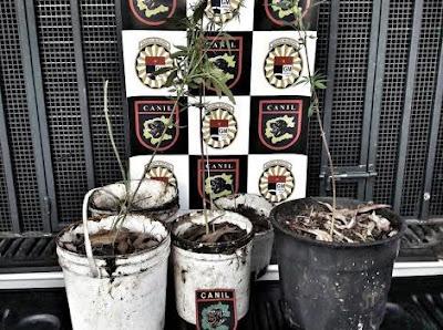 Canil da Guarda Municipal de Jundiaí encontra vasos de pé de maconha no Jardim Tamoio