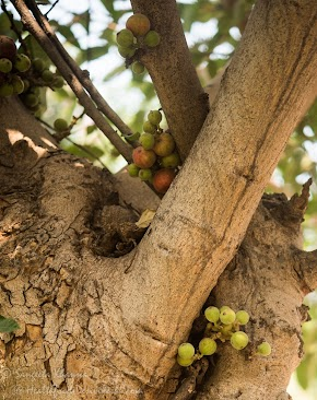 wild Indian figs (goolar, anjeer or dumur), a wild edible fruit : recipe of gooler ki subzi