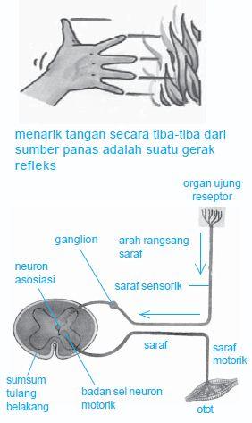 Urutan dan Mekanisme Terjadinya Proses Gerak Refleks serta Gerak Sadar