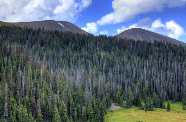 Longer growing seasons complicate outlook for coniferous forests