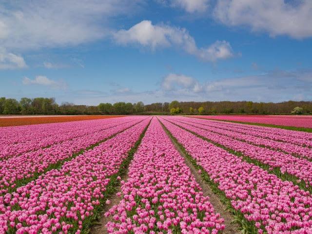 Campos de Tulipas, foto do Blog Holandesando