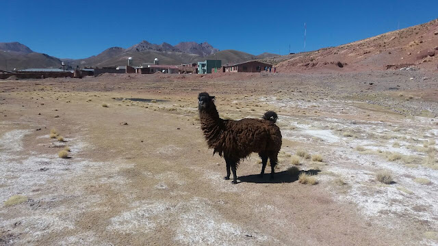 Die Lamas sind überall zu finden. Sie gehören zum Dorf wie die Einwohner